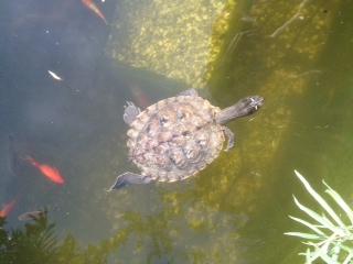 """Wasserschildkröte sucht neuen """"Swimming-Pool"""""""
