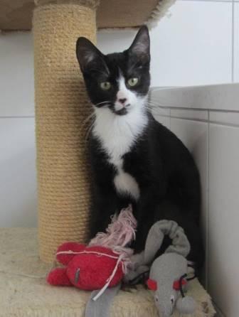 Kleiner Katzenbub Domino- wer spielt mit mir?