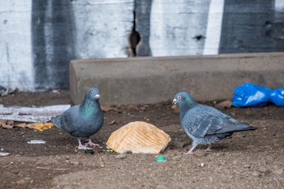 Stadttauben droht Hungertod durch Corona-Krise